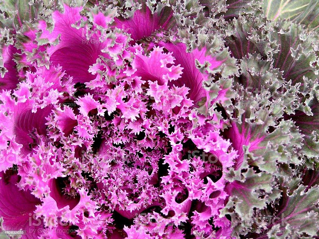 Kale - Ornamental Purple Cabbage stock photo