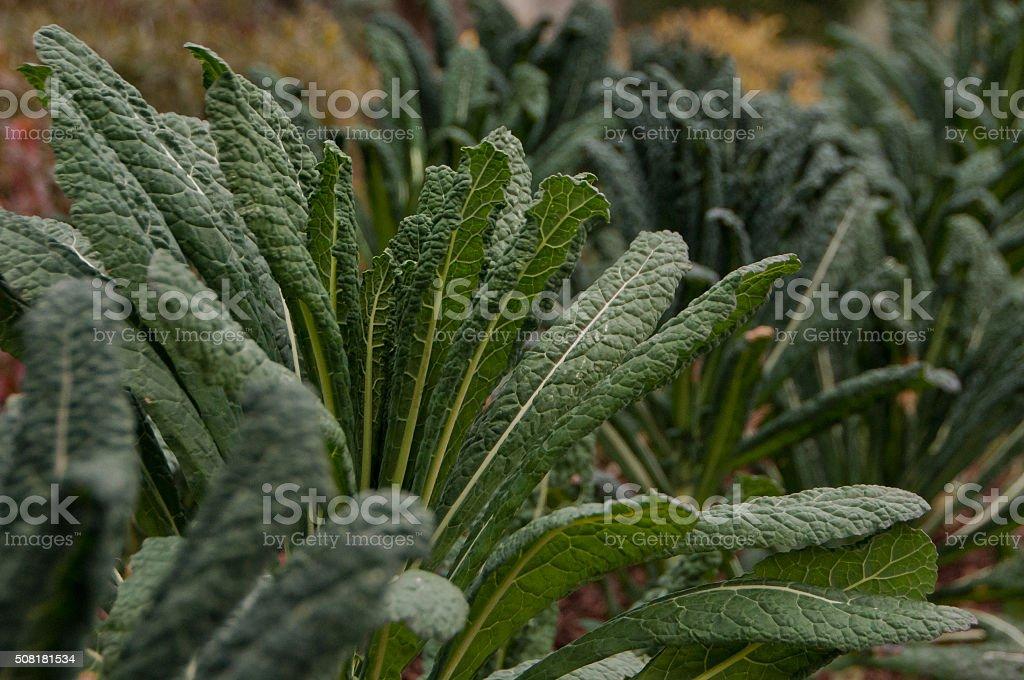 Kale plants stock photo