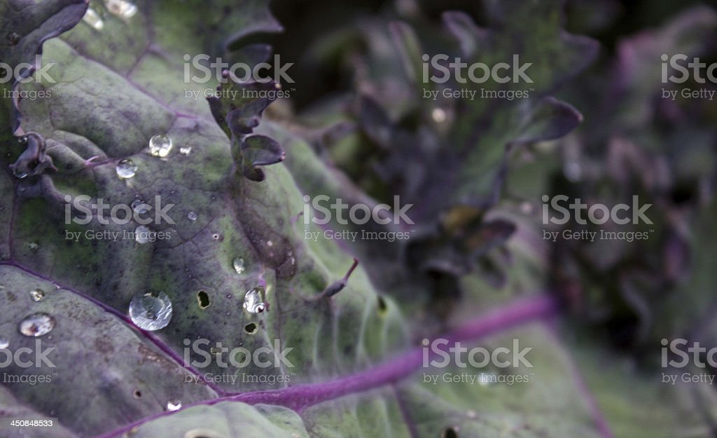 Kale with water droplets stock photo