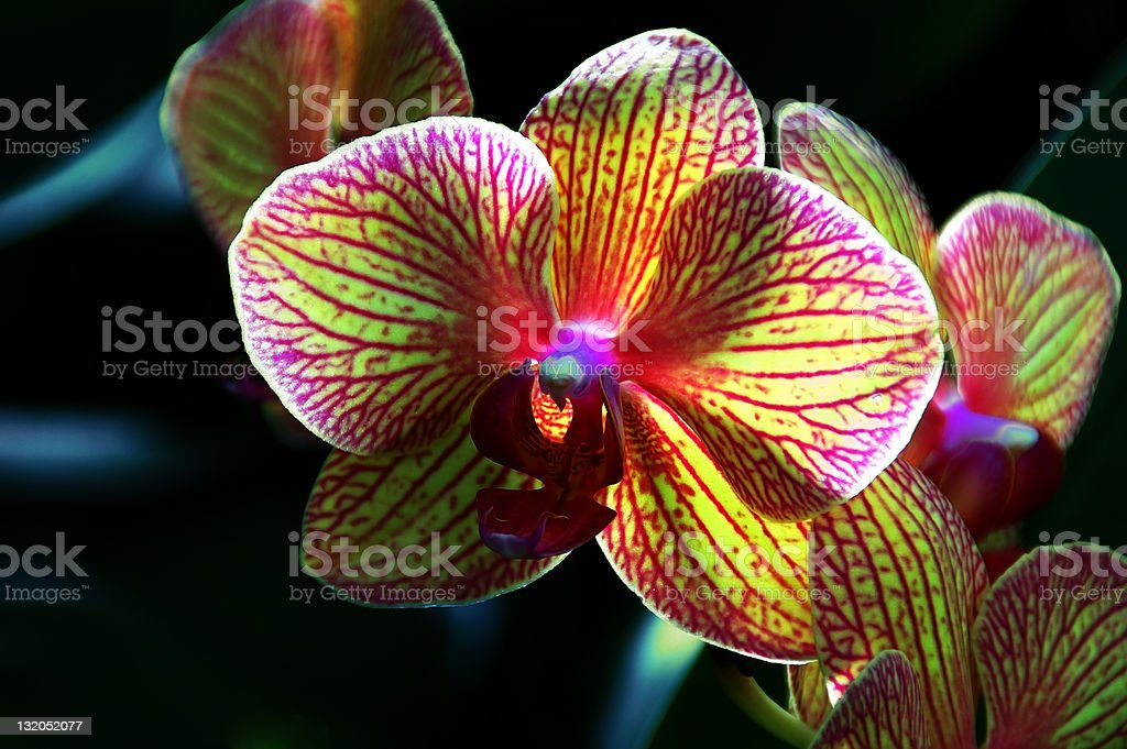 Kaleidoscope Orchid royalty-free stock photo