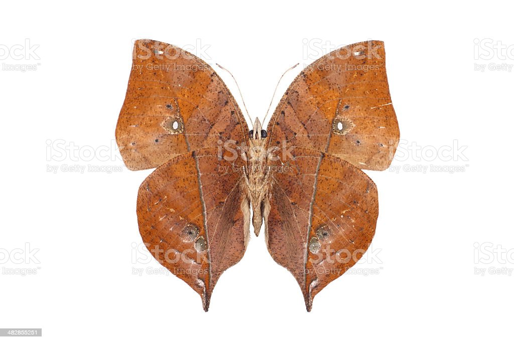 Kalima butterfly over white background royalty-free stock photo