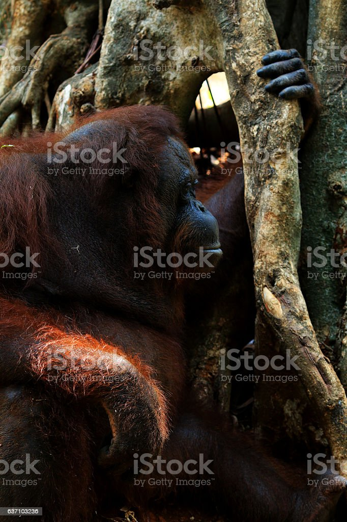 Orang Utan Kalimantan stock photo