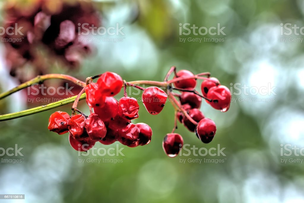 Kalina. Wild berry. stock photo
