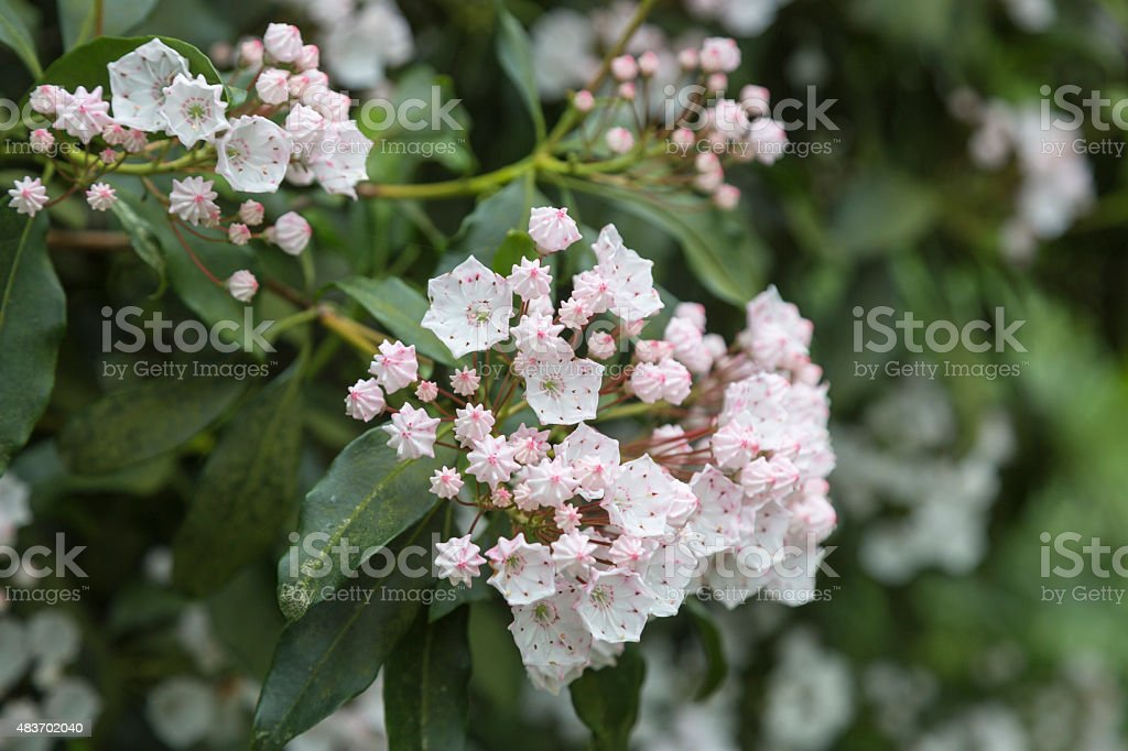 Kalmia latifolia flowers stock photo