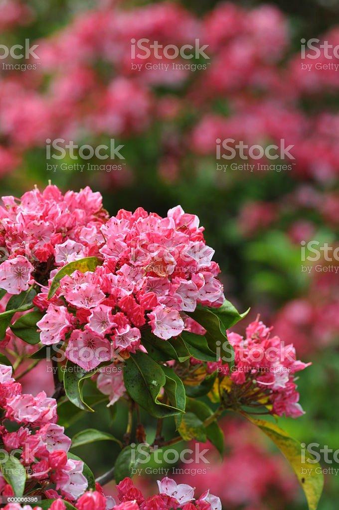 Kalmia latifolia stock photo