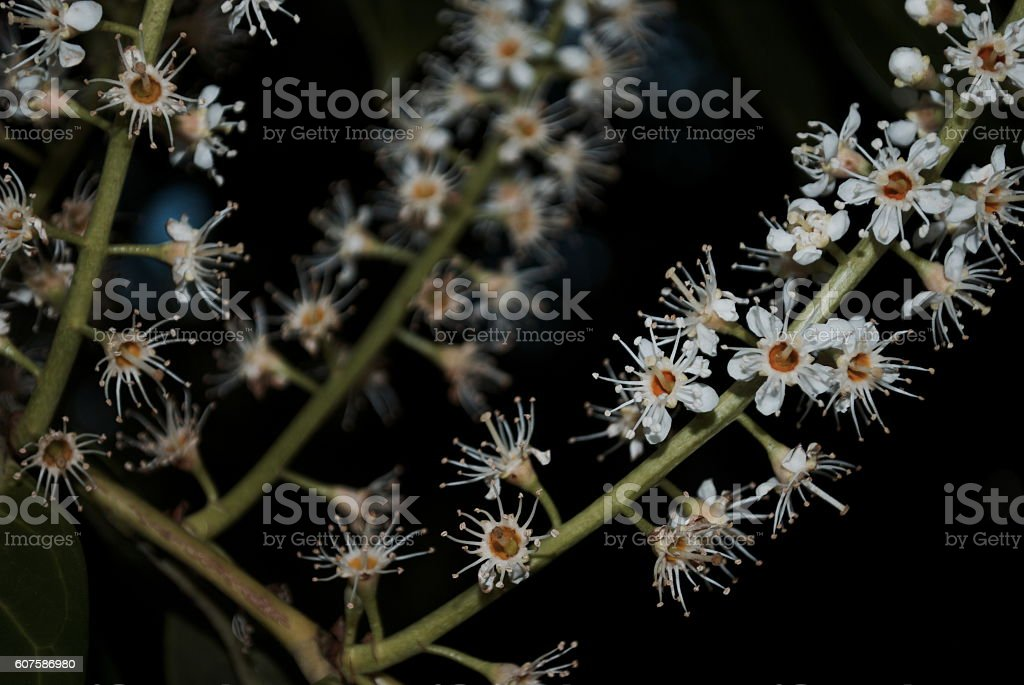 Kamahi Flower (Weinmannia racemosa) stock photo