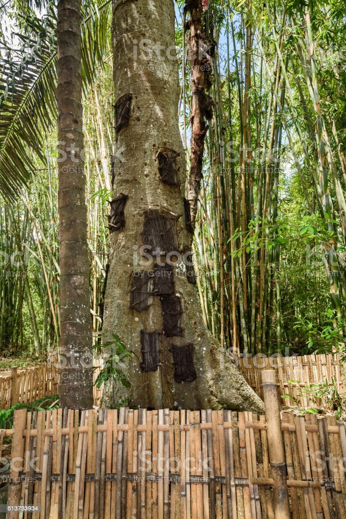 Kambira. Large old tree containing several baby graves. Tana Toraja stock photo
