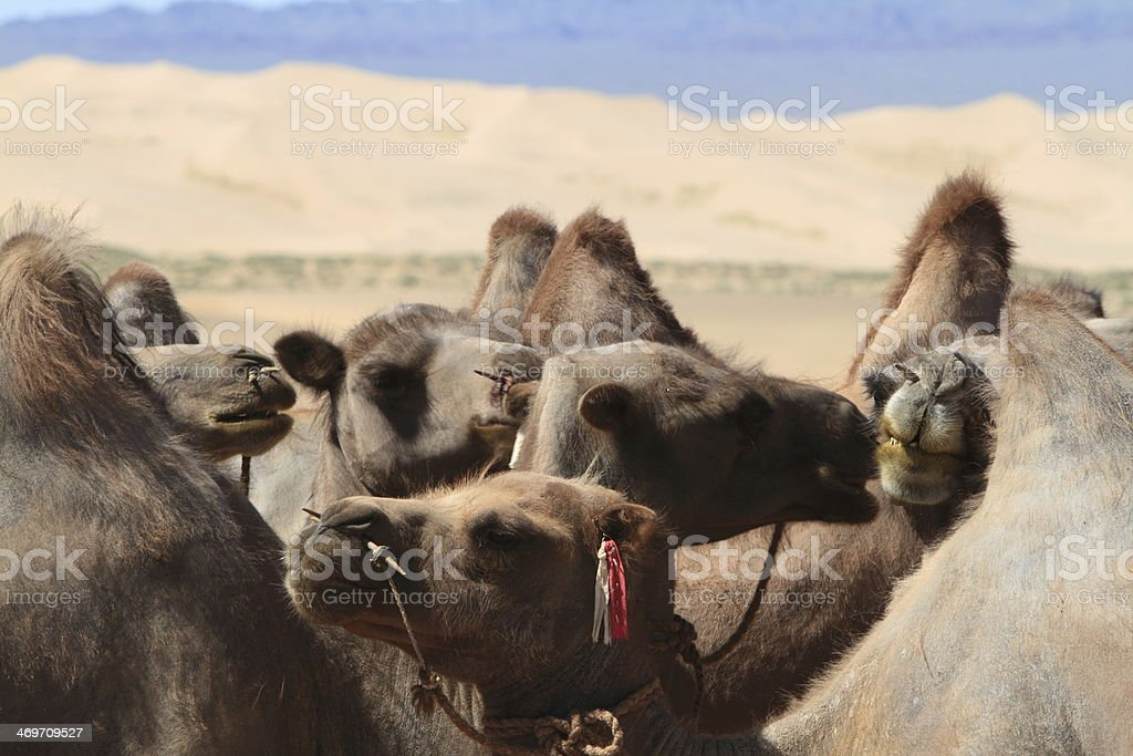 Kamel in der W?ste Gobi royalty-free stock photo