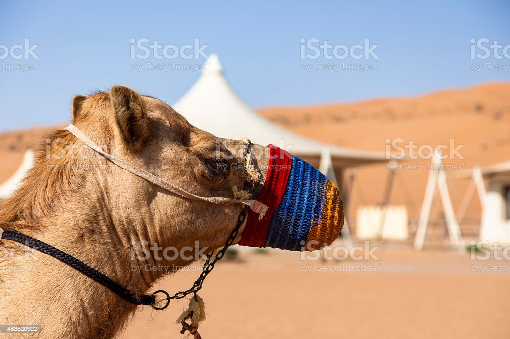 Kamel vor dem Wüstencamp im Oman stock photo