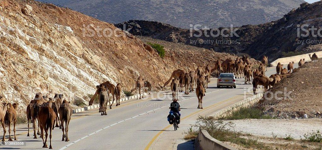 Kamele im Oman stock photo