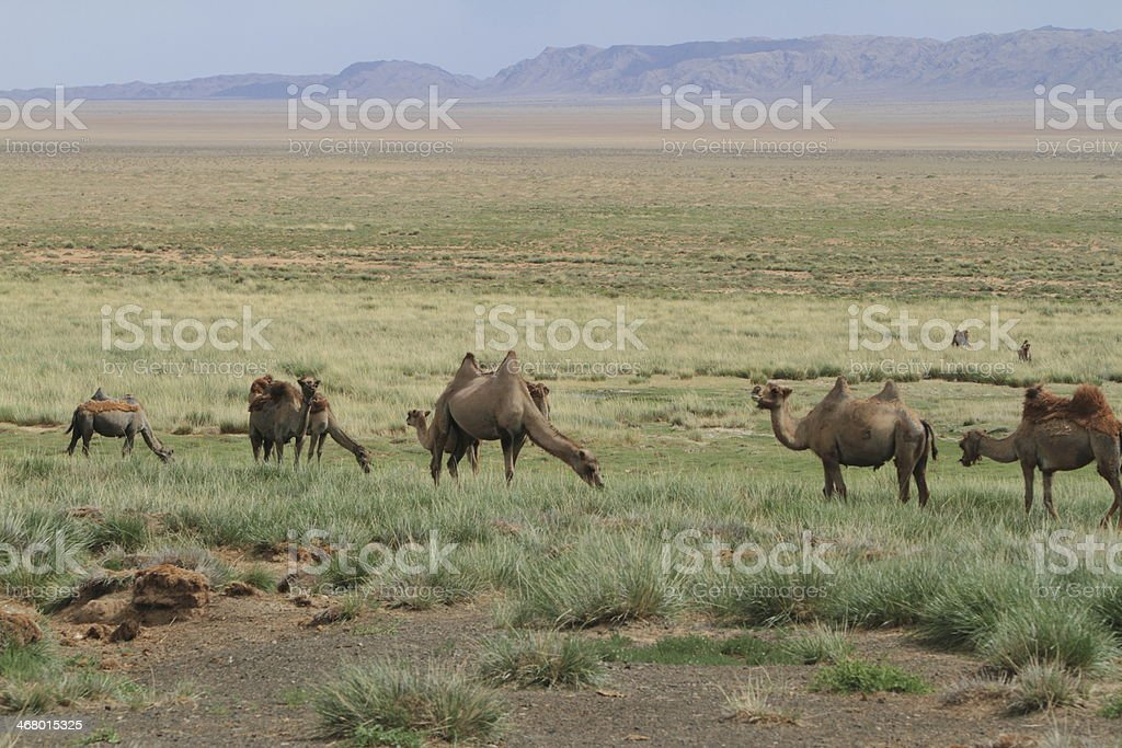 Kamele in der mongolischen Steppe royalty-free stock photo