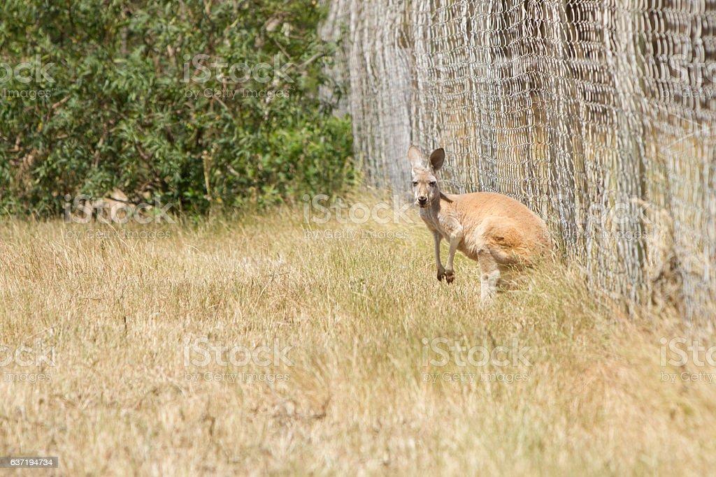 Kangaroo Against the Farm Fence stock photo