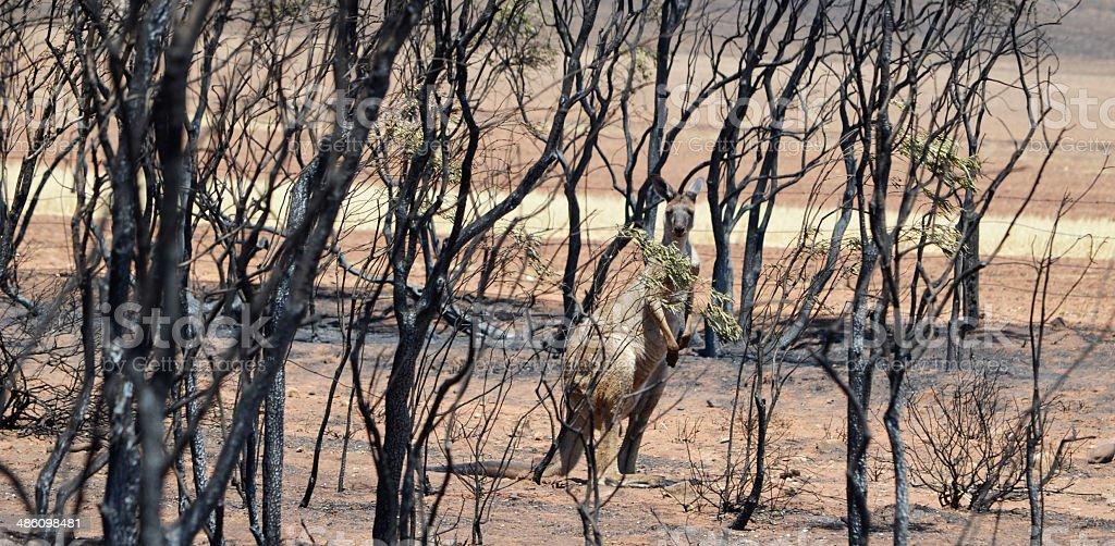Kangaroo amongst burnt trees from bushfire royalty-free stock photo