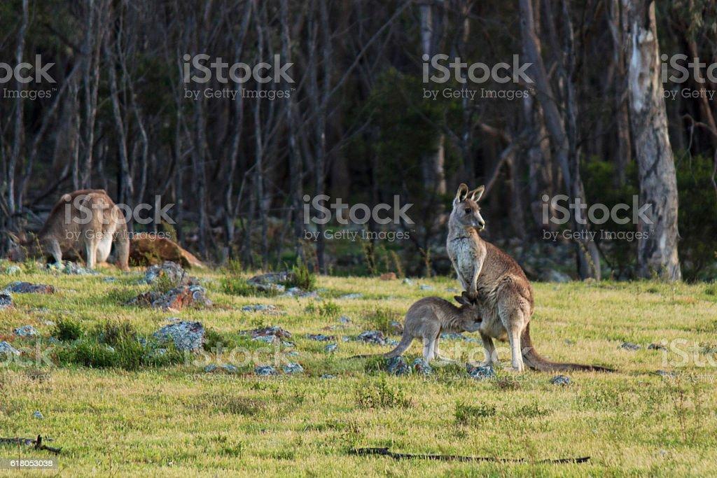 Kangaroo and its joey stock photo