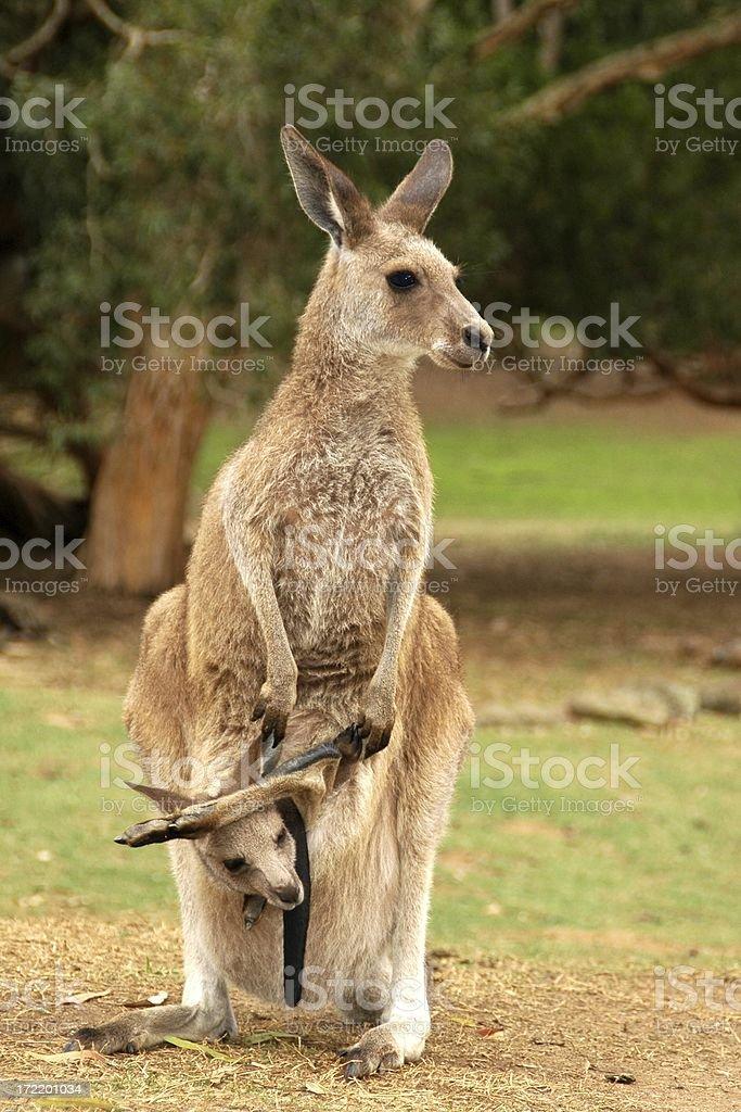 Kangaroo and Joey royalty-free stock photo