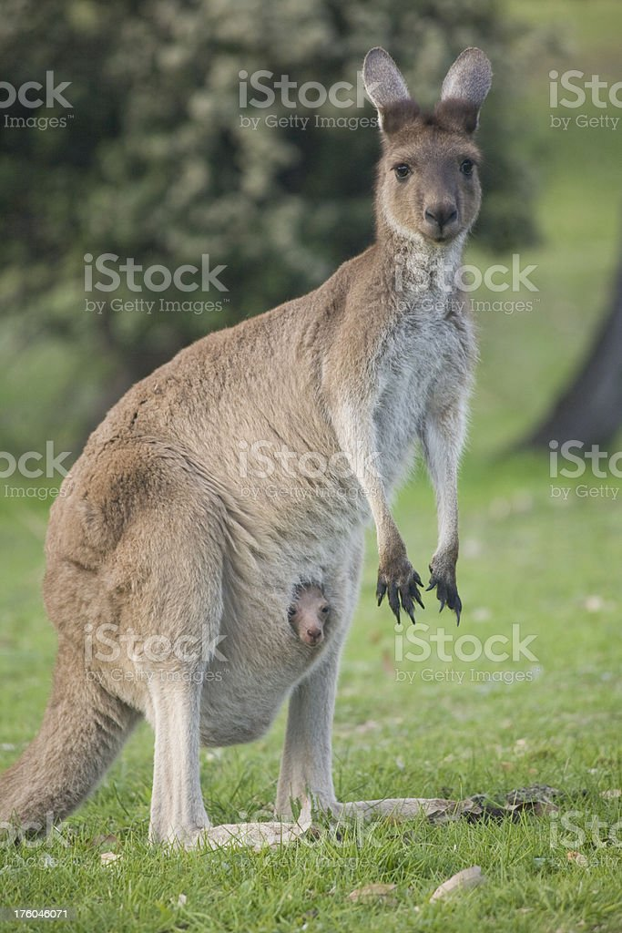 Kangaroo and Joey stock photo