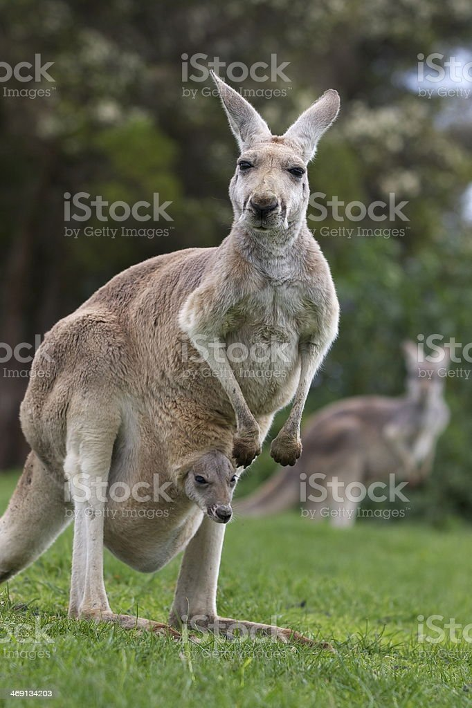 Kangaroo and joey royalty-free stock photo