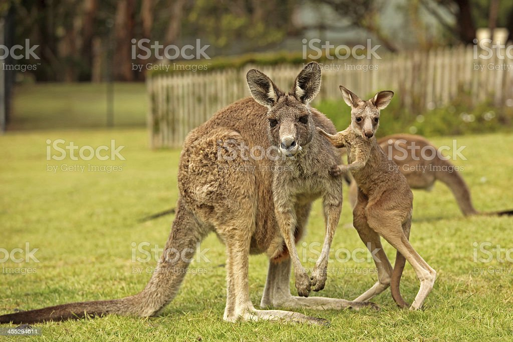 Kangaroo and Joey Standing Up on The Grass in Australia stock photo