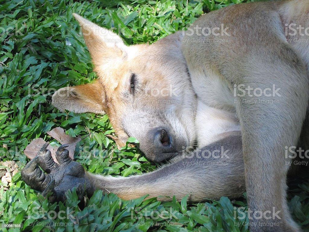 Kangaroo asleep royalty-free stock photo