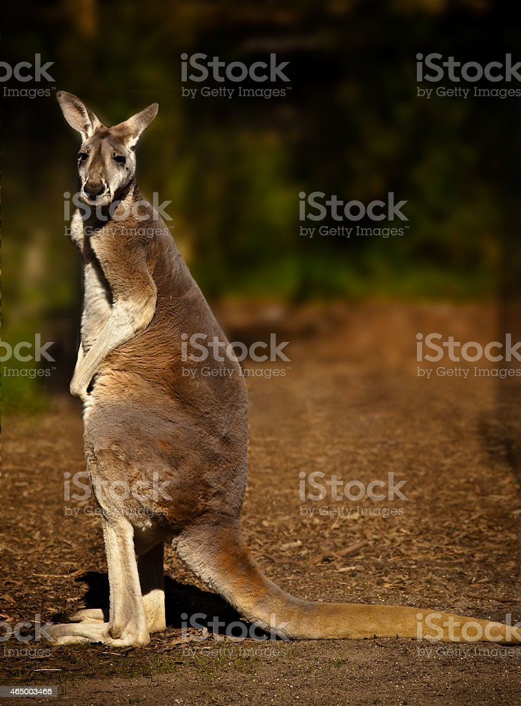 Kangaroo at Healesville Wildlife Sanctuary, Australia stock photo