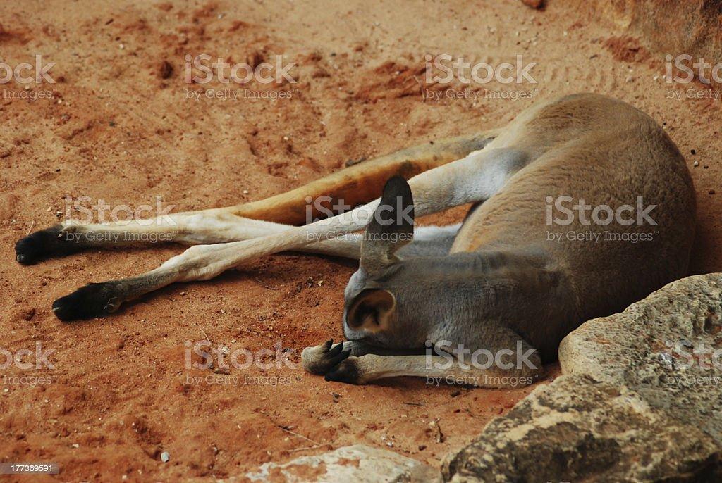 Kangaroo at rest royalty-free stock photo