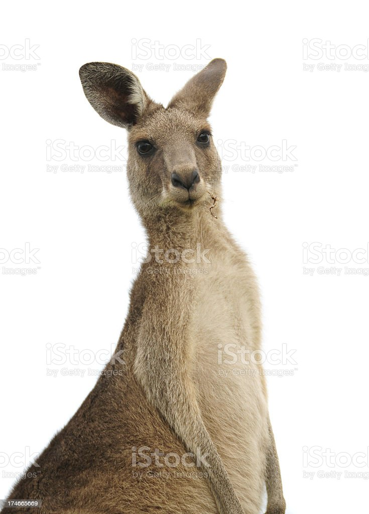 Kangaroo at sunset stock photo