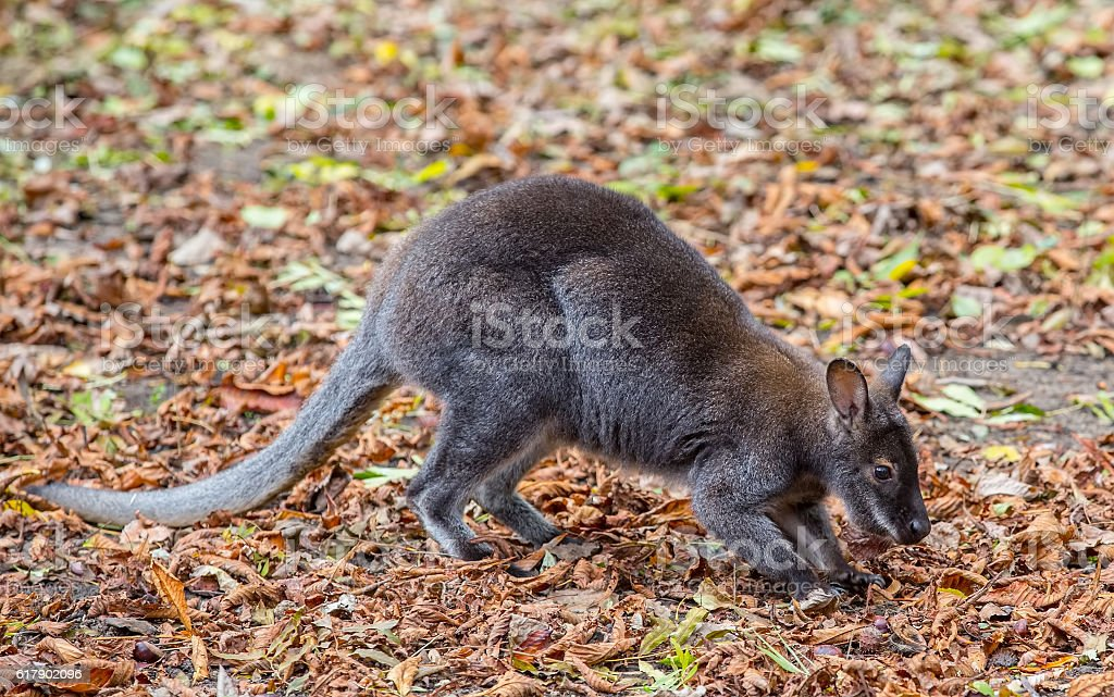 Kangaroo Bennett's (Dendrolagus bennettianus) is siting on autumn leaves stock photo