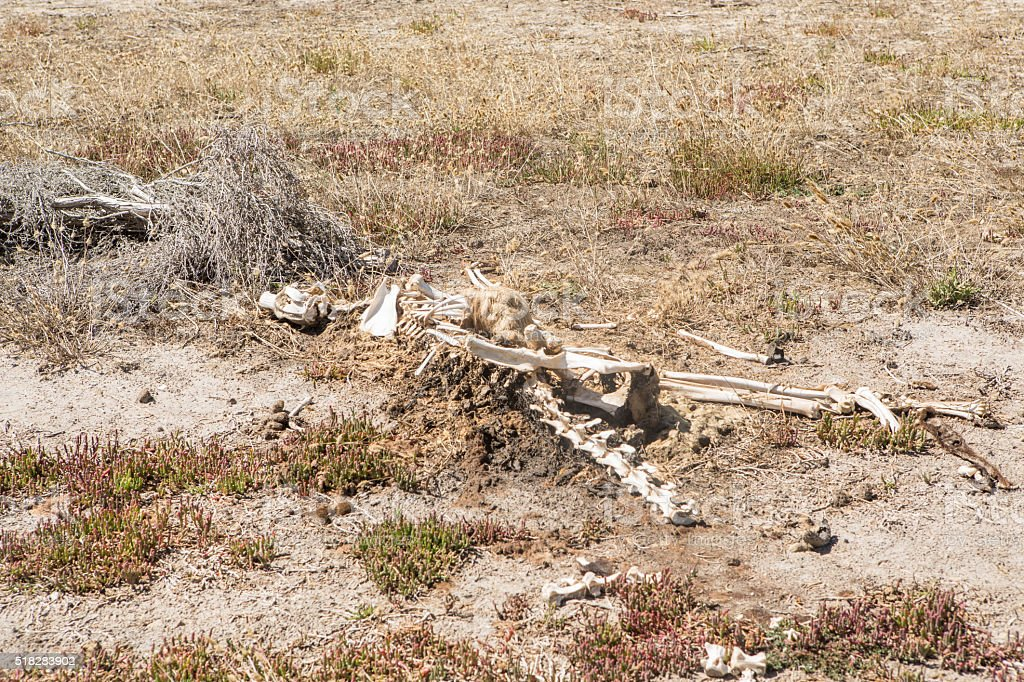 Kangaroo bones left over on the Australian's bush stock photo