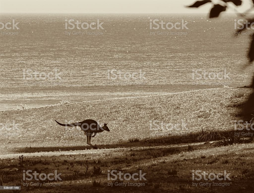 Kangaroo Brown stock photo