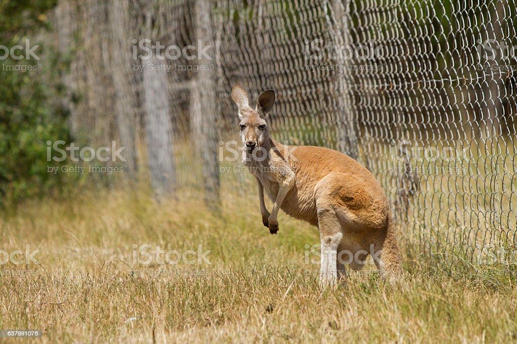Kangaroo By the Farm Fence stock photo
