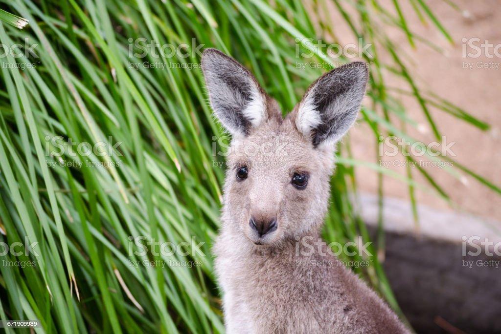 Kangaroo close up stock photo