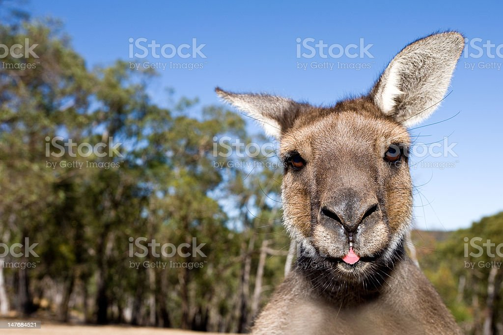 Kangaroo Close Up With Tongue Out stock photo
