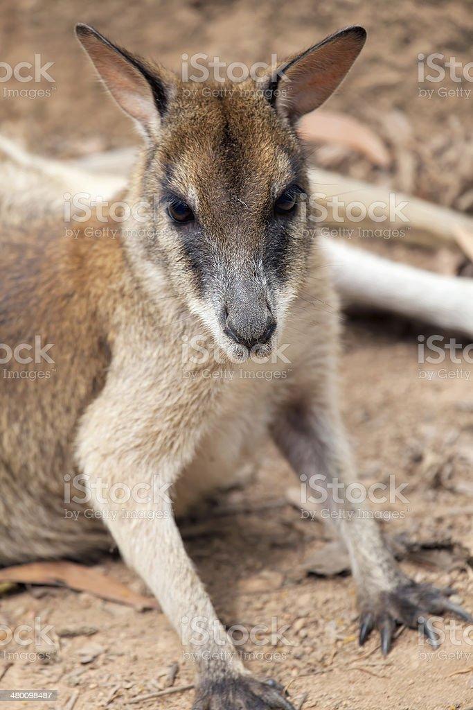 Kangaroo Closeup Portrait royalty-free stock photo