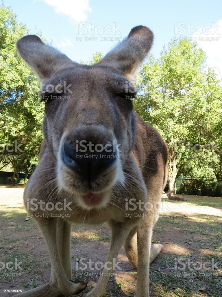 Kangaroo Face, Close-up stock photo