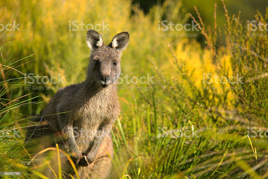 Kangaroo Face to Face Australian Marsupial stock photo