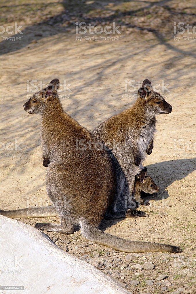 Kangaroo family royalty-free stock photo