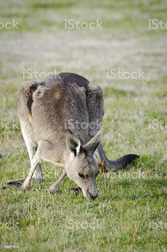 Kangaroo Feeding at Narawntapu National Park stock photo