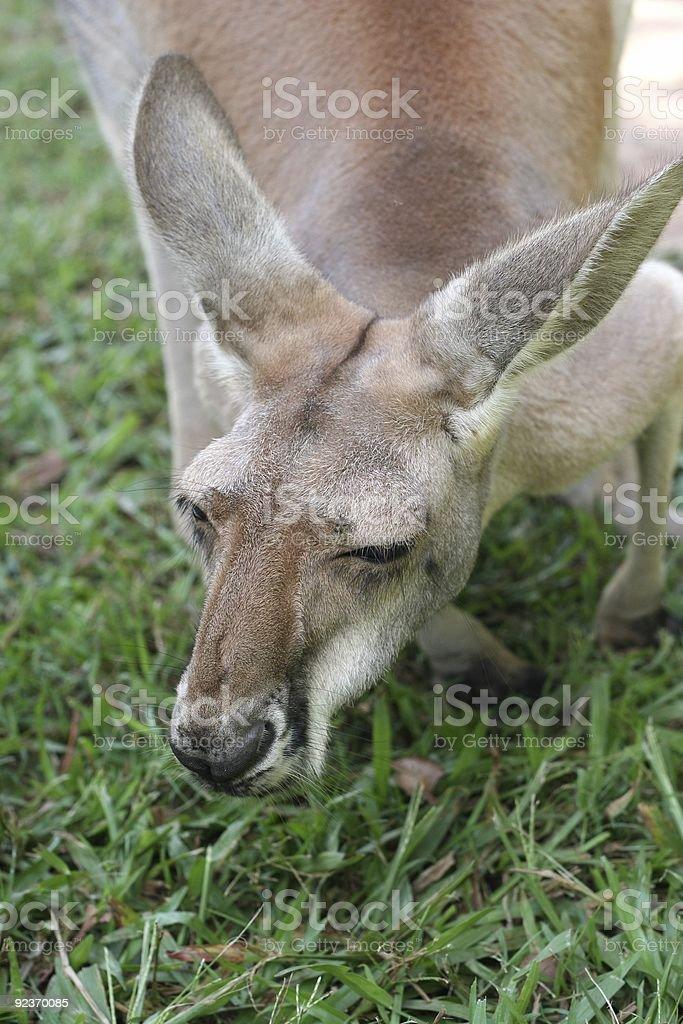 Kangaroo Grazing stock photo