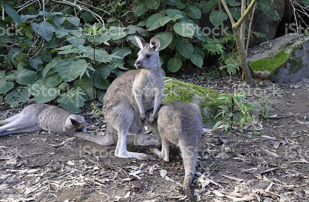 Kangaroo group stock photo