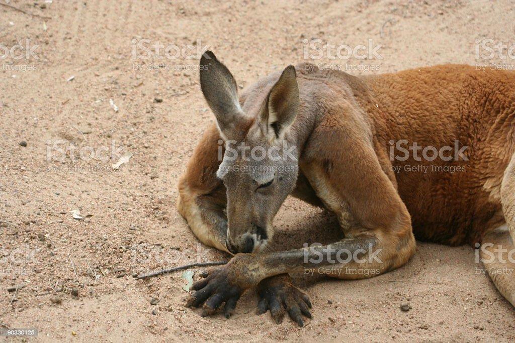 Kangaroo hanging out royalty-free stock photo