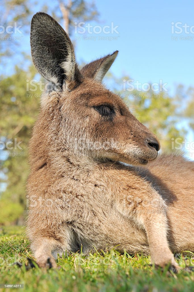 Kangaroo has rest in a reserve stock photo