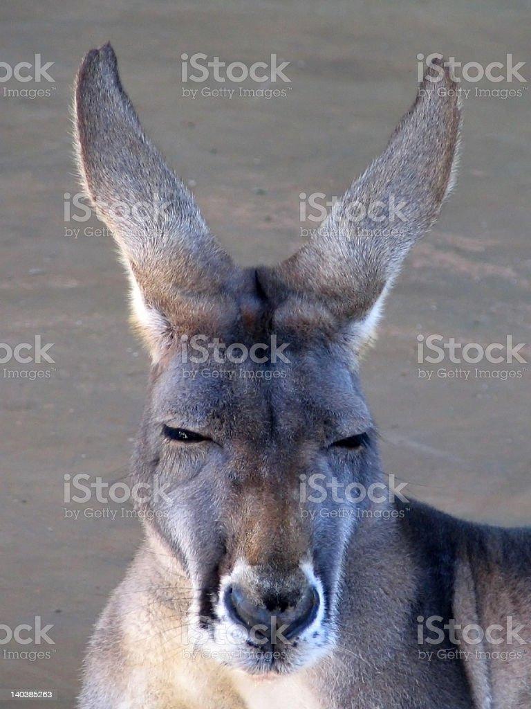 Kangaroo head stock photo