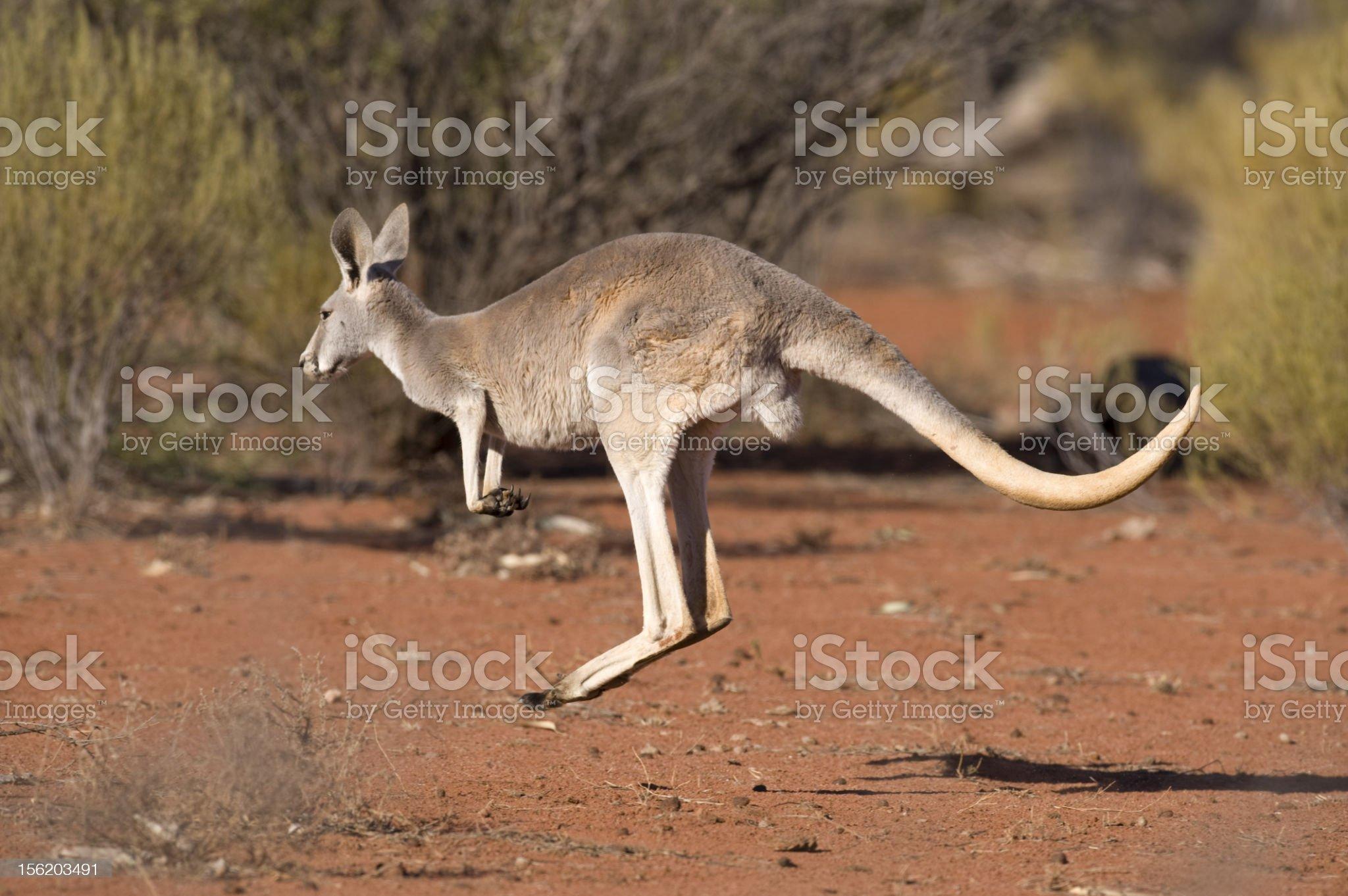 kangaroo hopping royalty-free stock photo