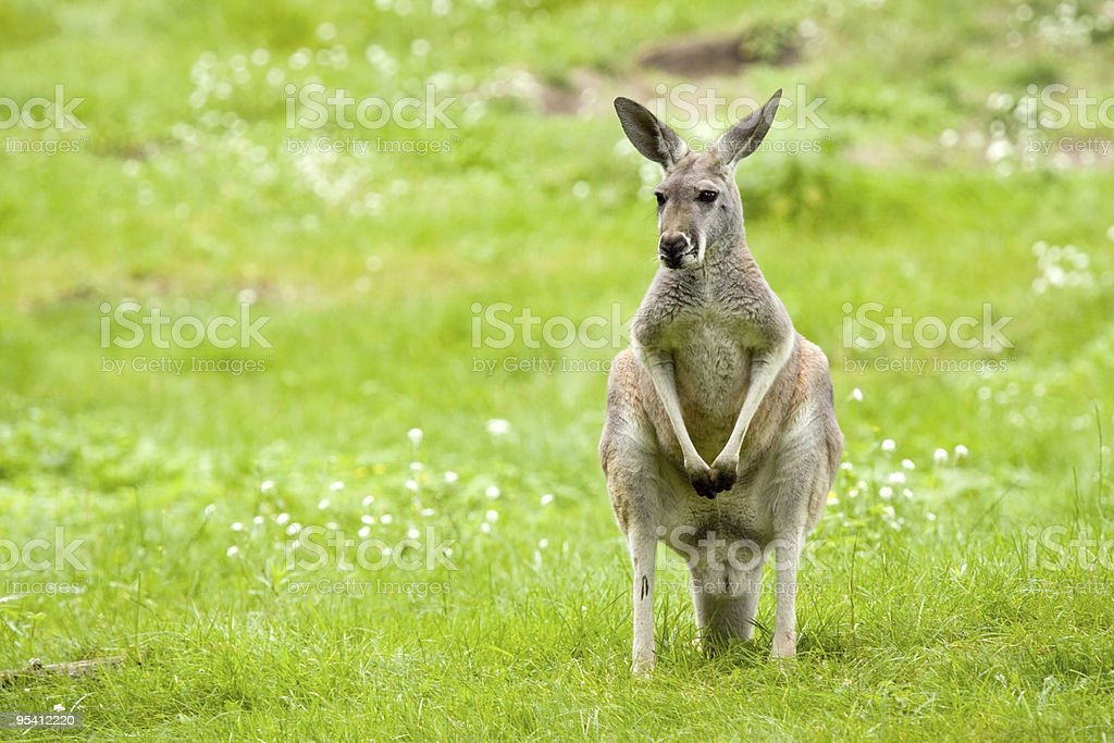 Kangaroo in a meadow royalty-free stock photo