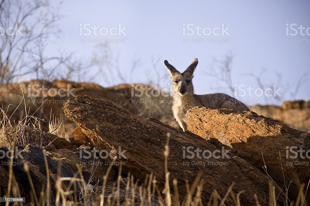 Kangaroo in Morning Light stock photo