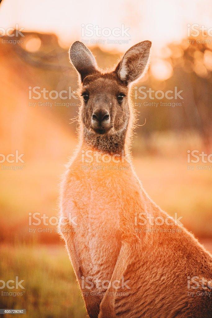 Kangaroo in Perth stock photo