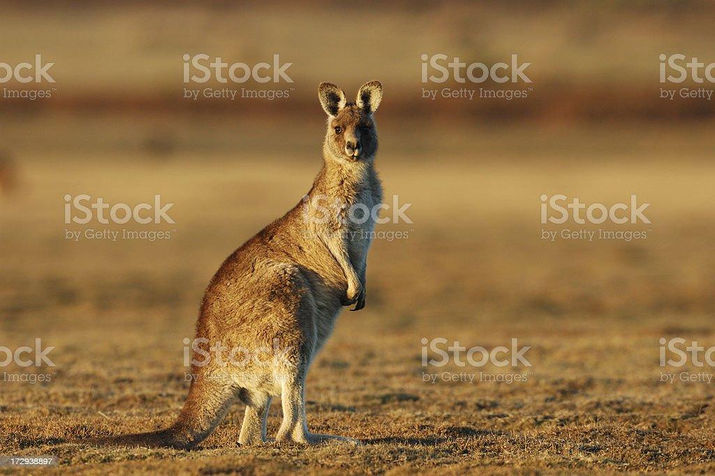 Kangaroo in the evening stock photo