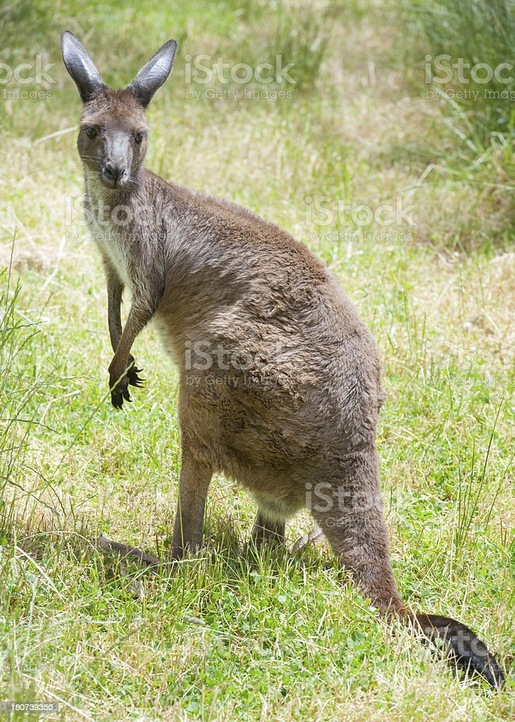 Kangaroo in Wildlife, Australia royalty-free stock photo