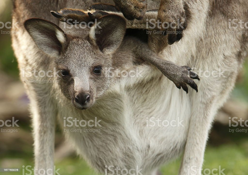 Kangaroo Joey stock photo