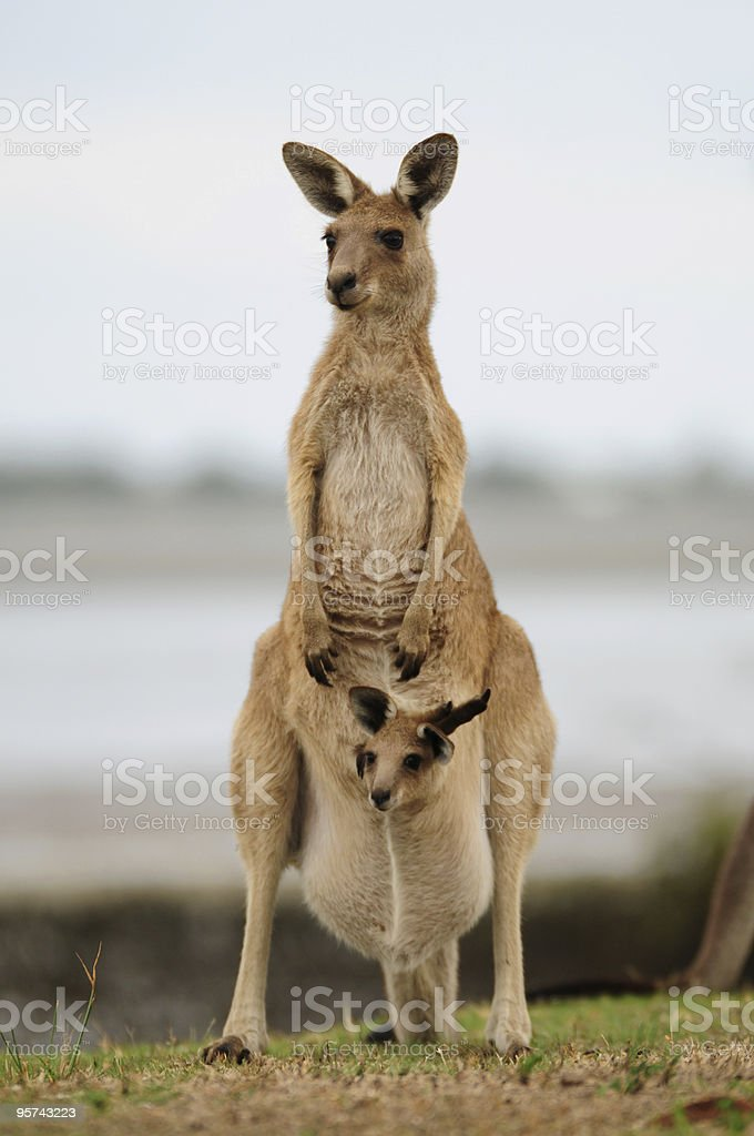 Kangaroo & Joey stock photo